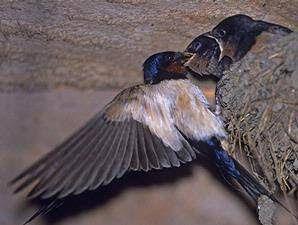 Dunia Cara Ternak Hewan - Peluang Usaha Sampingan: Trik Cara budidaya burung walet untuk pemula