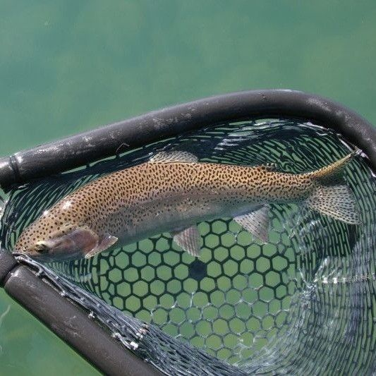 The 25 best trout fishing tips ideas on pinterest trout for Trout fishing basics