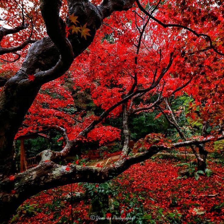真紅の庭🍁 . . 雨の中、傘をさしながら重たい80Dを片手で撮影するのは、なかなかハードでブレ写真量産でしたヾ(*´▽`*)ノ 筋力つけなくちゃっっっ(๑•̀ㅂ•́)و✧(笑) . . Location: 京都府 Kyoto, Japan . #京都 #紅葉 #秋 #雨 #そうだ京都行こう #はなまっぷ紅葉2016 #wp_紅葉2016 #lovers_nippon_2016秋 #jhp秋色 #excellent_nature #curatethis1x #ig_today #ig_dynamic #igglobalclub #ig_worldclub #picturetokeep_nature #nature_brilliance #main_vision #tgif_nature #photoarena_nature #loves_asia #bns_asian #loves_united_asia #worldmastershotz_asia #写真好きな人と繋がりたい #ファインダー越しの私の世界 #Yumikoの京さんぽ