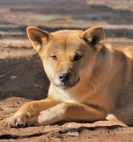 Australian Dingo..Captured this on my travels in Oz..beautiful animal
