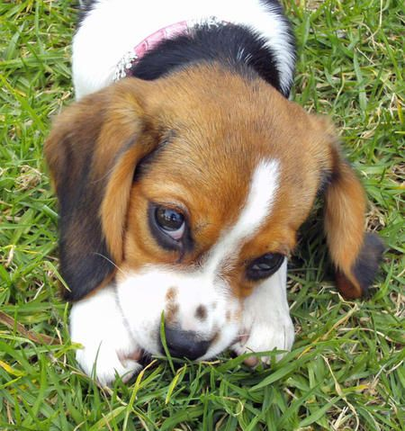 it's a baby beagle!!!