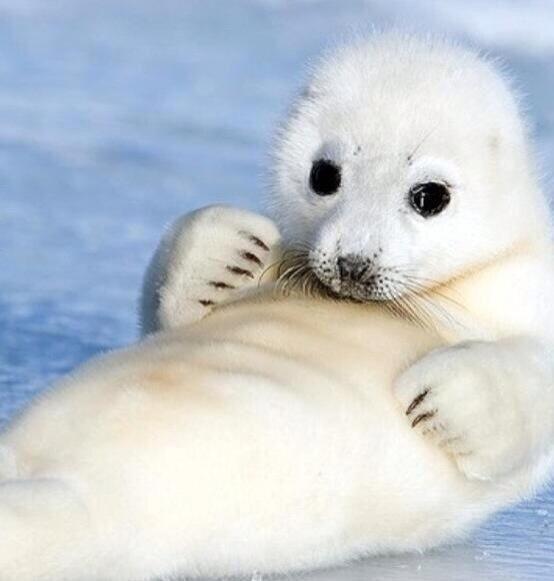 baby seal | Animals I Love | Pinterest