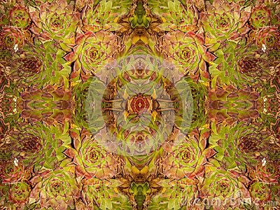 High resolution closeup Echeveria longissima abstract