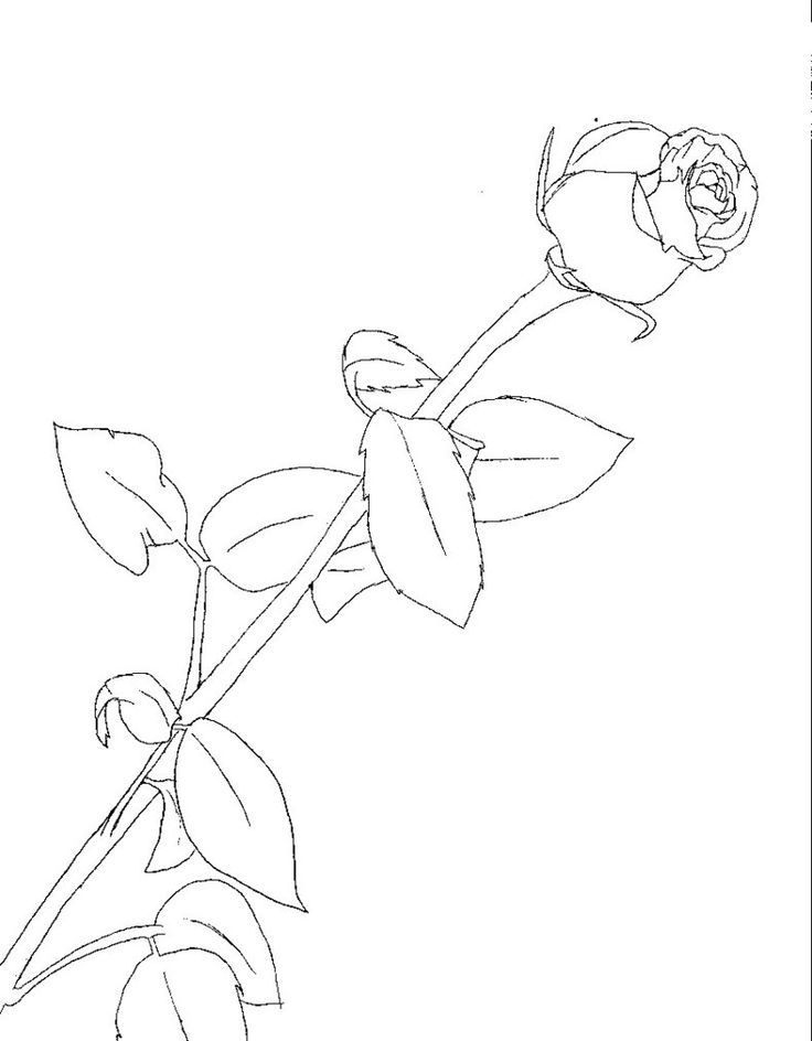 Simple Line Art Rose : Best drawing roses images on pinterest