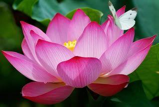 Flor de Loto. También llamado loto sagrado, nelumbo o rosa del Nilo. Se dice que Buda nació en el corazón de una flor de loto y a menudo se suele representar sentado encima de una. El loto es un símbolo de purificación espiritual.
