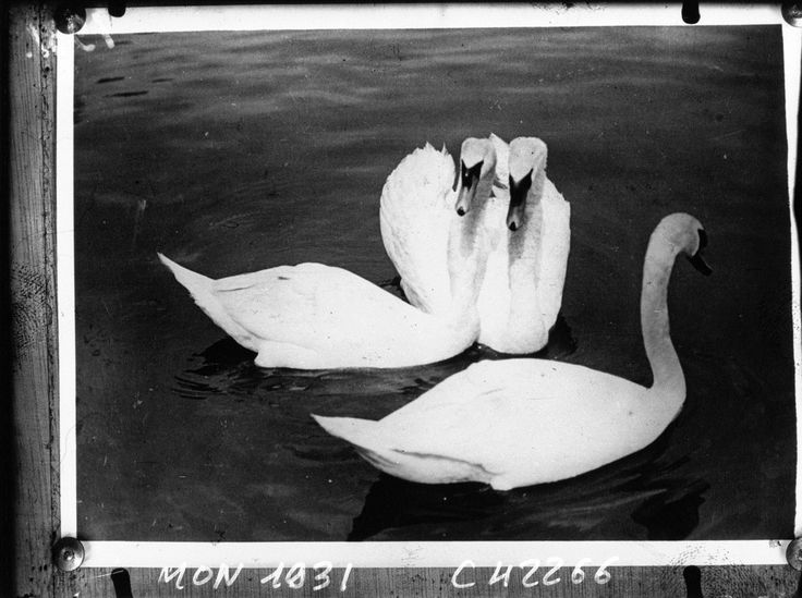 A nice group of swans | Agence de presse Mondial Photo-Presse. Agence photographique | 1932 | National Library of France | Public Domain