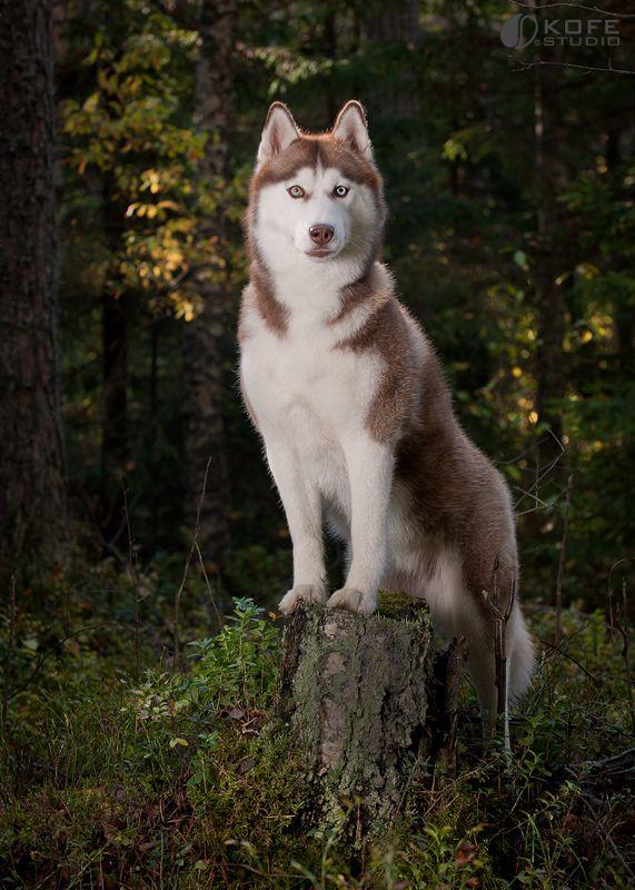 Siberian Husky   Flickr - Photo Sharing!