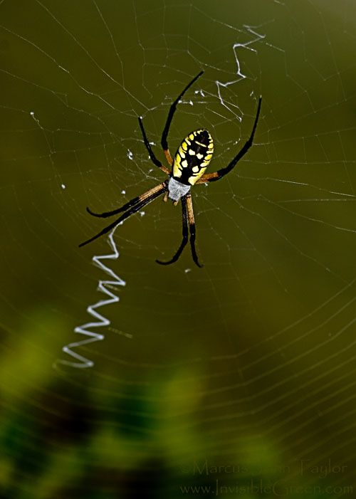 The Writing Spider (Argiope aurantia)