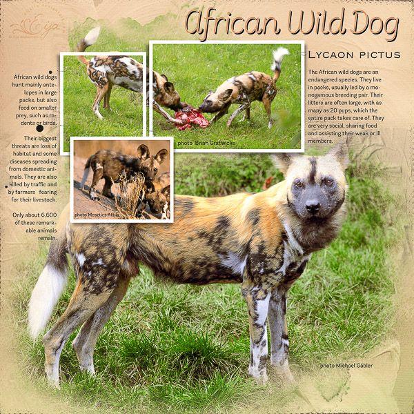 African Wild Dog - Oscraps Gallery