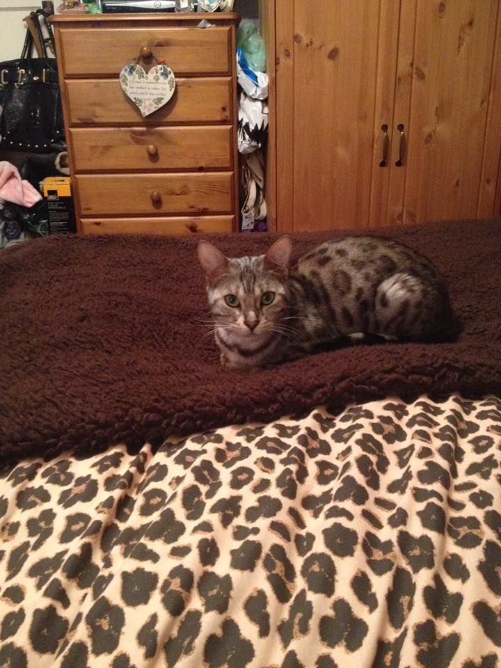 Missing – 2 year old micro-chipped silver/black female Bengal cat on 17th March around 9pm Thornpark Rise/Blackthorn Cres area (Exeter EX1, Devon). May of hitched a ride anywhere in UK Please look in gardens/sheds/garages ect. Reward offered. If you have any information please get in touch. Thank you.