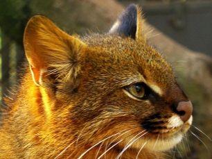 El gato colocolo es una de las 250 especies, tanto animales como vegetales, que se encuentran en peligro de extinción en Chile y su caza está prohibida.  Fuente: http://www.ecoticias.com/naturaleza/15492/felino-peligro-de-extincion-fauna-flora-valor-natural-gato-colocolo