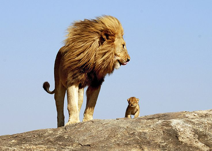 """Dad, I already got the """"Circle of Life"""" talk in Biology class.: Big Cat, One Day, Real Life, Circles Of Life, Baby Lion, Father And Sons, Lion Cubs, The Lion King, Animal"""