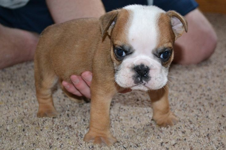 English Bulldog Puppy for Sale | American Bulldog Puppies for Sale ...