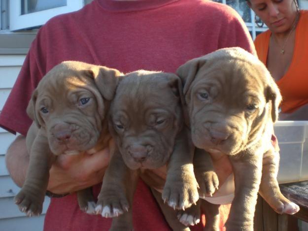 red nose pitbulls