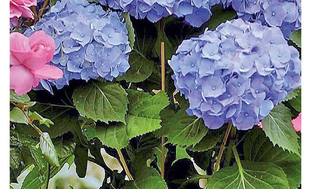Hortensien Vermehren Hortensienvermehren Hortensien Stecklinge Ziehen Wer Prachtvolle Hortensien Fur Seinen Propagating Hydrangeas Hydrangea Garden Hydrangea