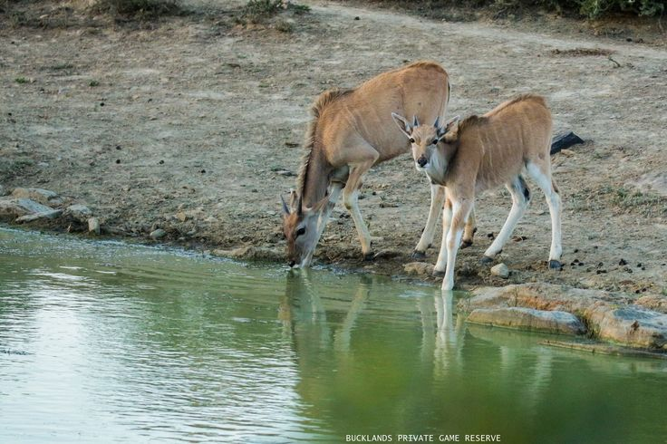 Two young Eland drinking at a pan #photography #eland #drinking #gamedrives #bucklandsprivategamereserve