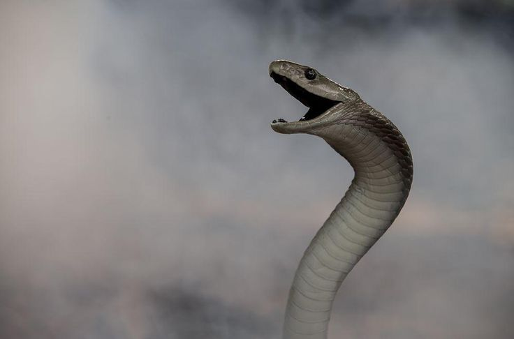 Black mamba in the mist Photo by Jo Frago — National Geographic Your Shot Picture taken alongside Neville Wolmarans and Helen Bauermeister, two experienced snake experts, in Ballito (Kwazulu-Natal), South Africa.