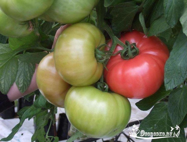 ЧТОБЫ ПОМИДОРЫ БЫЛИ КРУПНЕЕ  Сохраните, чтобы не потерять!    Чтобы у томатов плоды были покрупнее и созревали раньше, приготовьте для них питательные «напитки»:  - на 10 л воды добавьте 3-4 капли йода. Поливаете под корень раз в неделю, расходуя до двух литров на одно растение;  - бочку (200 л) заполнить на 1/3 крапивой и листьями одуванчиков. Добавить туда ведро навоза (коровяк или кроличий), залить доверху водой. Чтобы брожение проходило быстрее, бочку накройте плёнкой. Через 10 дней…