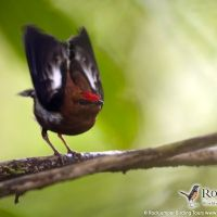Club-winged Manakin by Murray Cooper