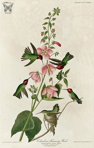 Seashore Mallow, Kosteletzkya virginica with Anna's Hummingbird [as Columbian Humming Bird]. Birds of America [double elephant folio edition], Audubon, J.J.,  (1826-1838) [J.J. Audubon]