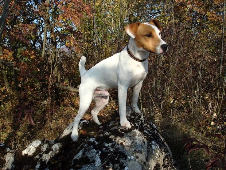 Rocco / JRT  - Small Climber