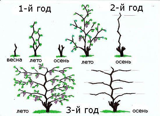 Как обрезать виноград осенью.Существует два типа обрезки винограда.Первый вид обрезки -веерная, односторонняя или двухсторонняя, короткорукавная или длин