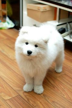 samoyed pups! Best thing ever!