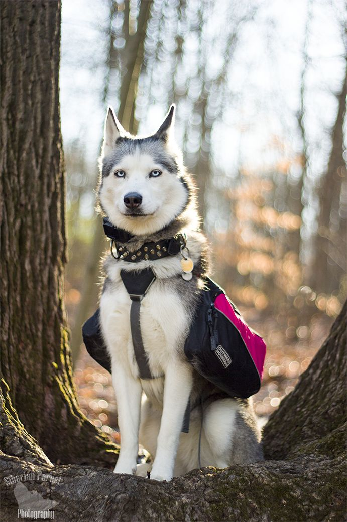 My boy looks a bit like this for our long runs :) He loves his pack!