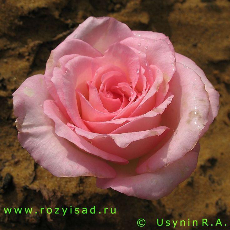 Розы и Сад (фото розы, розы открытки, цветы розы открытки фото искусство цветов, фотографии цветов, белые розы, цветы фото тюльпанов, розы открытки, цветы открытки фото искусство)