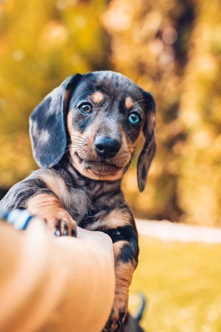 Everything You Need To Know About A Dachshund Dachshund Dogs