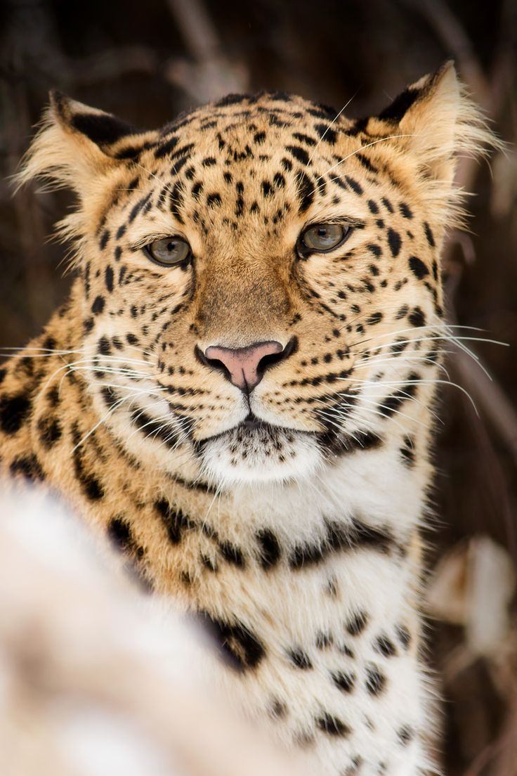 amur leopards The amur leopard is a critically endangered subspecies of the leopard with as few as 19 to 26 estimated remaining in the wild they are solitary creatures living in river basins or mountainous areas.