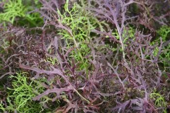 Салат мицуна рецепты