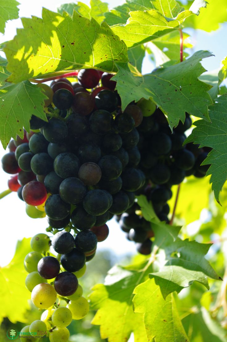 Growing Grapes in Your Backyard in 2020   Growing grapes ...
