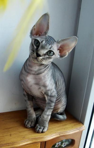 Devon Rex Cat  Pleeeeeeeeease Kyle pretty kitty pleeeeaseee :)