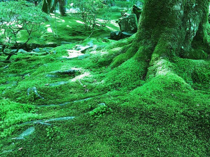 * 苔もたくさんの種類があって 目を愉しませてくれますね🍀🌿 ・ ・ #苔#銀閣寺#慈照寺#京都#綺麗 #癒やし#日本庭園#京都散策#京都散歩 #moss#Ginkakuji_temple #Kyoto#beautiful#healing #japanesegarden #landscape #nature#naturegram