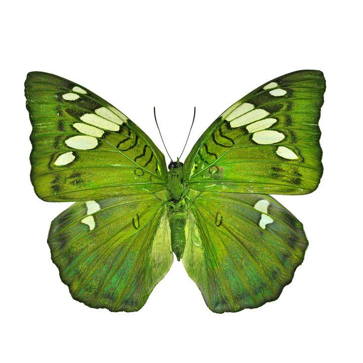 Green butterfly (Grand Duchess, Euthalia patala) #springforpears #usapears