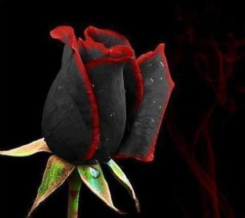Flowers black and red rose flowers pinterest for How to make black roses