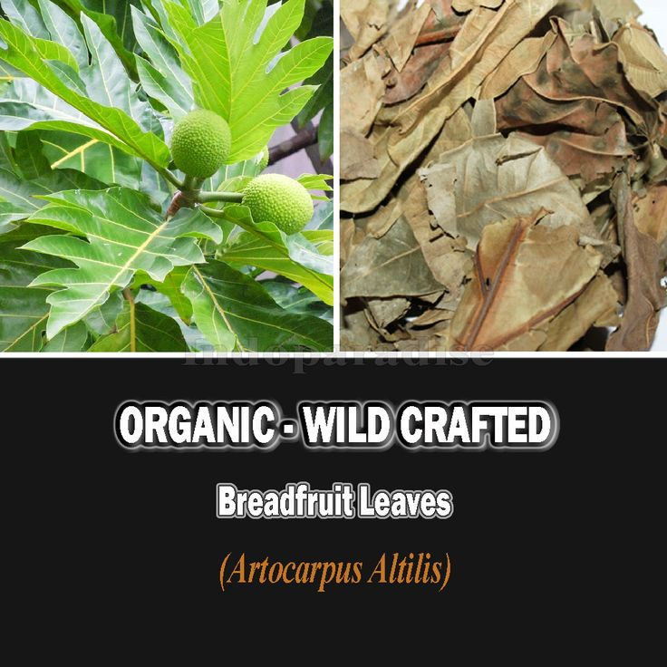 Health Benefits: Cardiovascular disease, Lowering cholesterol, Skin rashes, itching, and other minor skin irritations, inflammatory conditions of the liver, B Vitamins for good mood and vitality, reduces swelling, redness, and pain. #breadfruit #herbalremedies