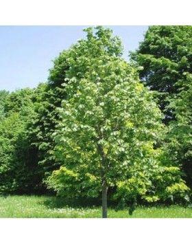 Tilia argentea 'Szeleste' - Ezüst hárs