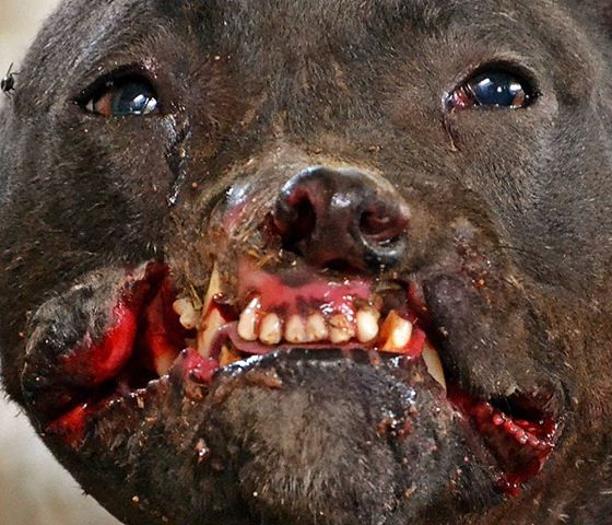 best pets abuse dog race fight bait hunt mills breed images on  133 best pets abuse dog race fight bait hunt mills breed images on animal rights animal rescue and animal welfare