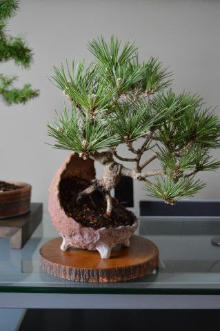 These two photos are from Zach Smith, Bonsai South. I highly encourage you to visit his Website. He has a lot of nice bonsai and pre bonsai for sale and a ton of great information. Zach's website is www.bonsai-south.comThe next two photos are from Ed Trout. Ed requires little introduction. He has an excellent website as well. All you have to do is google Ed and you will find a wealth ofimages and articles.The ...