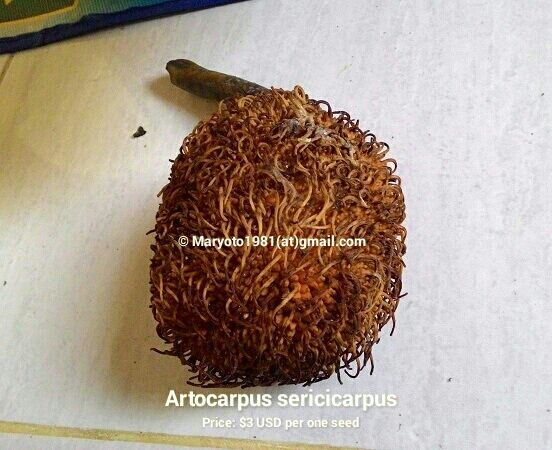 Artocarpus sericicarpus