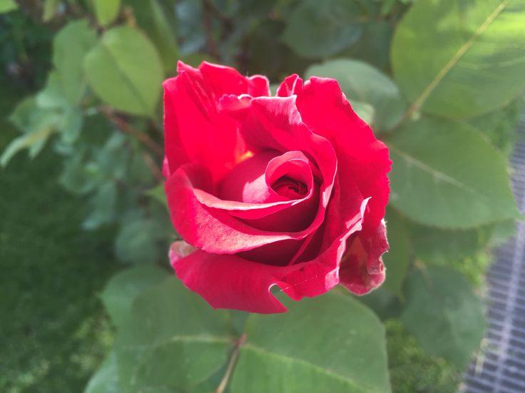 Great Rose!