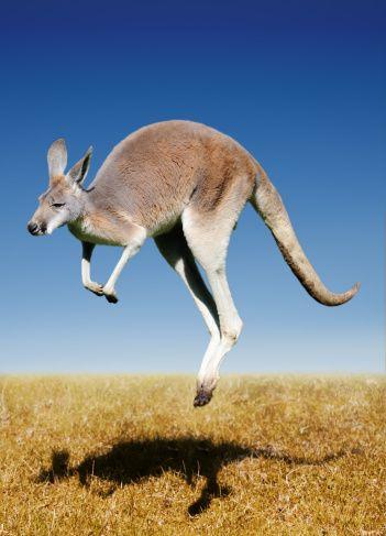 jumping red kangaroo