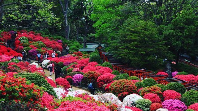 Beautiful Azalea Garden In Nezu Jinja Shrine Japantravel Explorejapan Tokyo Shrine Flowerstagram Azalea Flowerfe Azaleas Garden Azalea Festival Azaleas