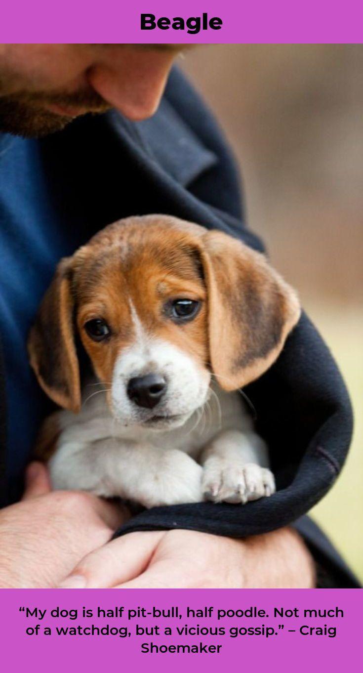 Beagle Puppy Beaglelife Pocket Beagles Beagle Puppy Cute