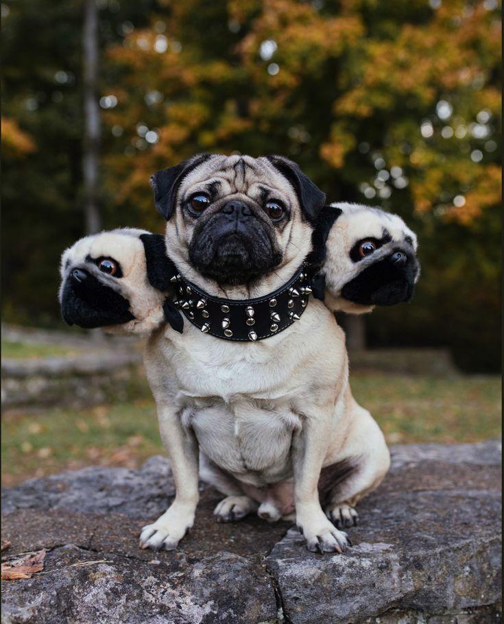 Doug The Pug As Cerberus Funnies Pinterest Pugs