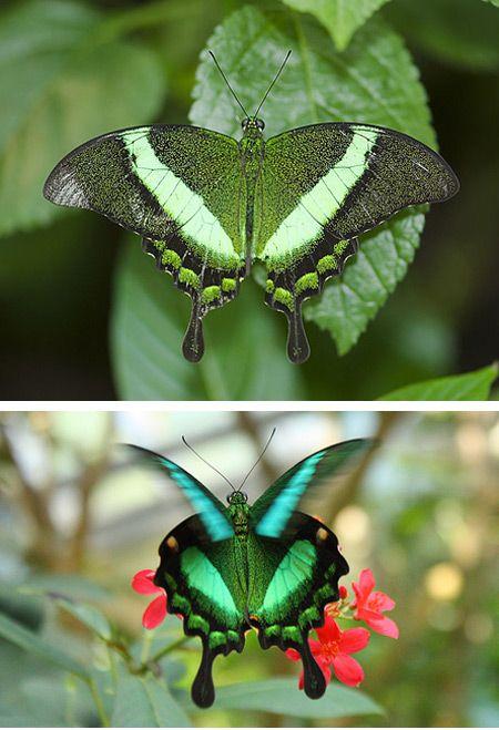 Esmeralda Cauda-Fina  Uma das poucas borboletas verdes do mundo, conhecida pelo formato de sua cauda e pela sua cor vibrante. É encontrada no sudeste da Ásia.