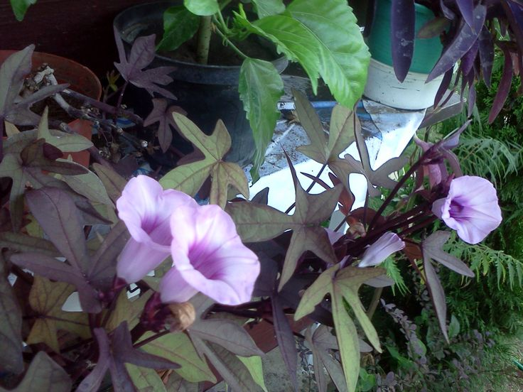 Édesburgonya (Ipomoea batatas purple)