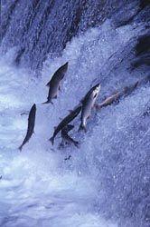 Salmon jumping - Salmon run - Wikipedia, the free encyclopedia